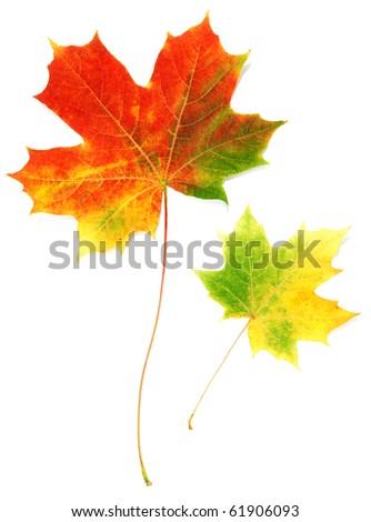 Two sheets maple autumn on white background - stock photo