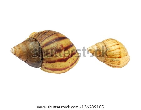 Two shells - stock photo