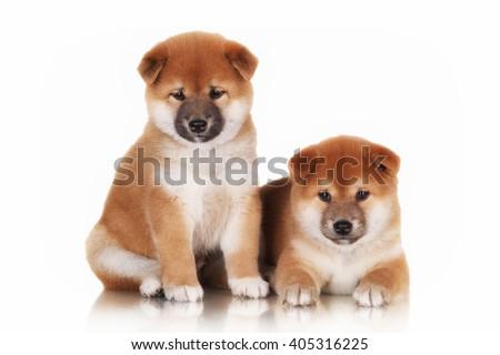 two shiba inu puppies - stock photo