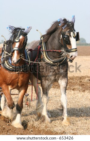 Two Shire horses ploughing