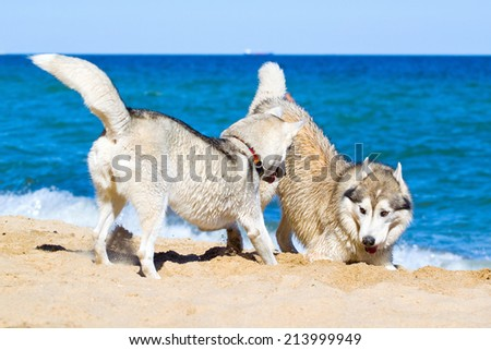 Two Siberian Huskies play on a beach - stock photo