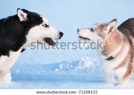 Two siberian husky playing on snow - stock photo