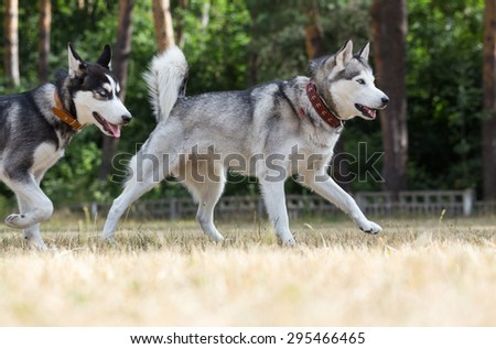 Two Siberian Husky plays in the park. Puppy runs after her mother by glade. Grass dried up from drought and heat. - stock photo