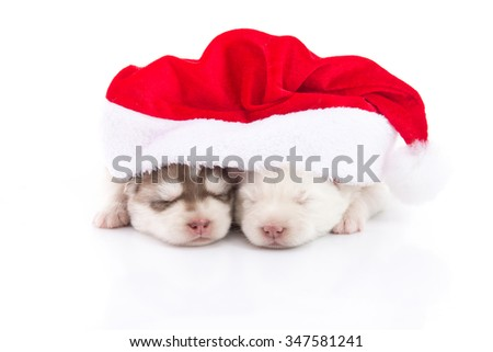 Two Siberian husky puppies in Santa Claus xmas red hat on white background isolated