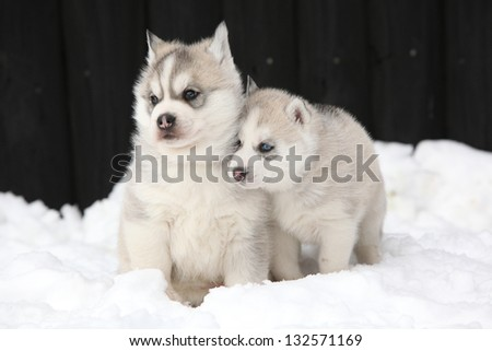 Two siberian husky puppies in winter - stock photo