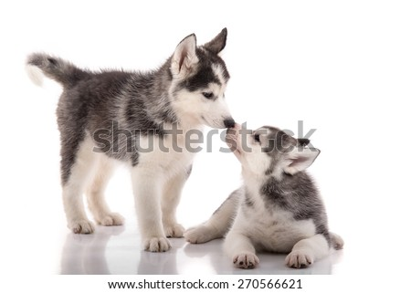Two siberian husky puppies kissing on white background isolated - stock photo