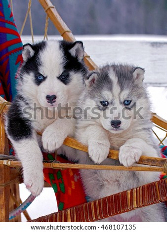 Two Siberian Husky puppies, six week old in sleigh, watching