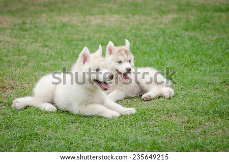 Two siberian husky puppy playing on green grass
