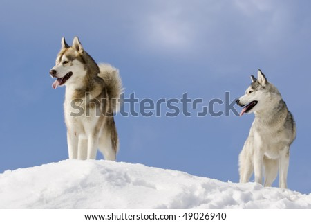 Two siberian husky stands at snow mountain top