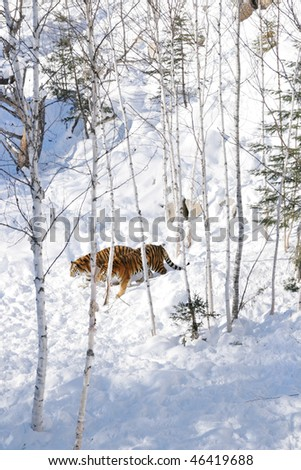 Two siberian tiger walking into the snow - stock photo