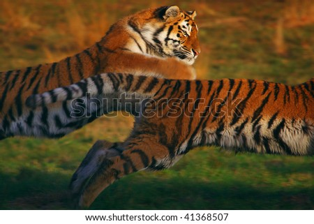 Two Siberian tigers chasing each other in the early evening light - stock photo