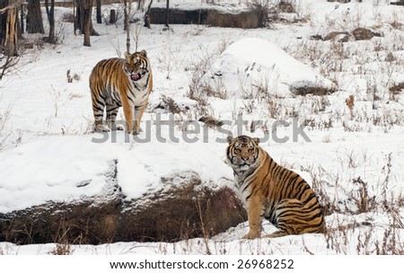 Two siberian tigers in a snowy landscape in China. - stock photo