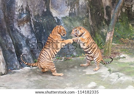 Two Siberian Tigers in fight with each other - stock photo
