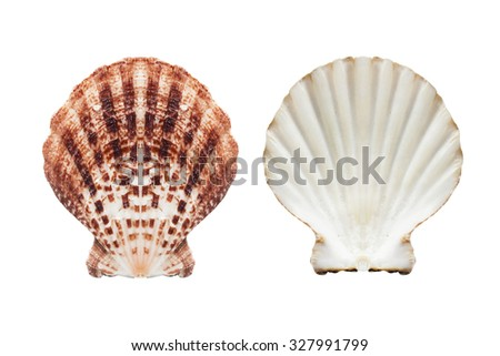 Two sides of brown seashell isolated over white - stock photo