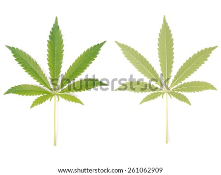 Two sides of hemp leaf isolated on white background - stock photo