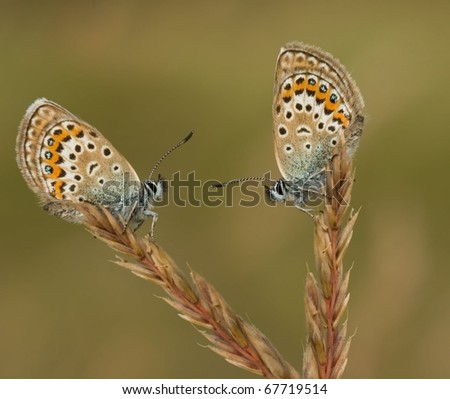 Two Silver Studded Blue Butterflies together in conversation