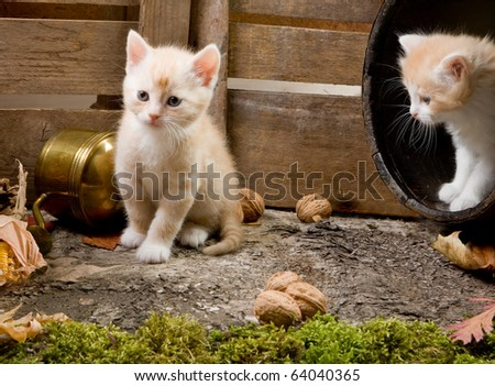 Two six weeks old red kittens exploring the garden - stock photo