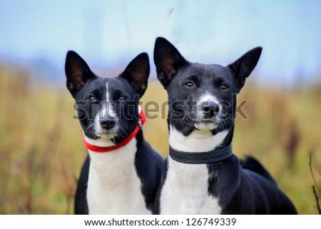 Two slack basenjis on autumn meadow - stock photo