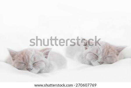 two sleeping british cats on white bed  - stock photo