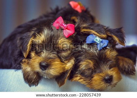 Two sleeping cute Yorkshire terrier dog puppies with head fur tied with colorful bows. Shallow depth of field. - stock photo