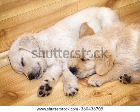 Two sleeping golden retriever puppies - stock photo
