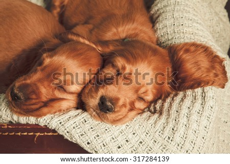 two sleeping spaniel puppies