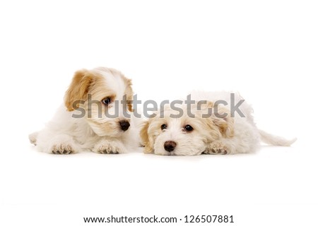 Two sleepy Bichon Frise cross puppies laid together isolated on a white background