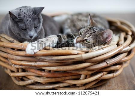 Two sleepy cats cuddling in wicker basket - stock photo
