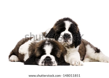 Two sleepy St Bernard puppies cuddling isolated on a white background - stock photo