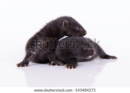 two small animal mink ferret on a white background - stock photo