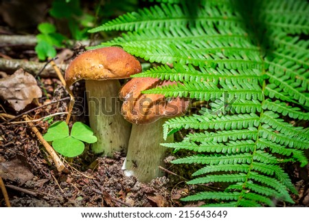 Two small boletus mushrooms in forest - stock photo