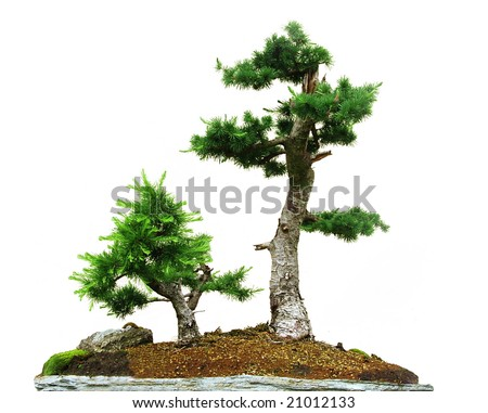 Two small bonsai trees isolated on the white