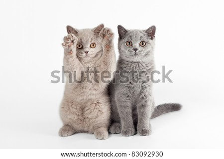 Two small british kittens on white background - stock photo