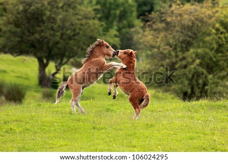 Two small brown Shetland pony's playing with each other - stock photo