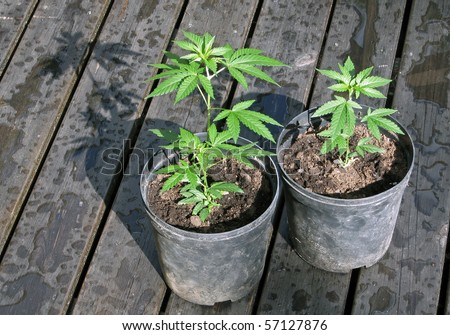 Two small cannabis plants in pots.