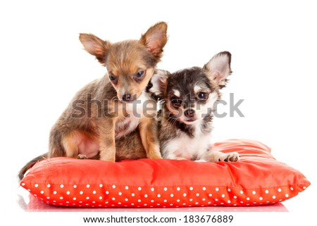 two small Chihuahua puppies. Chihuahua dog on red pillow isolated on white