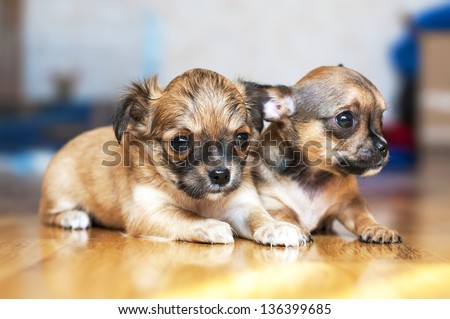 two small Chihuahua puppies lying on floor with blurred background - stock photo