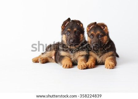 two small cute german shephard puppies laying on white background and looking straight into the camera. - stock photo