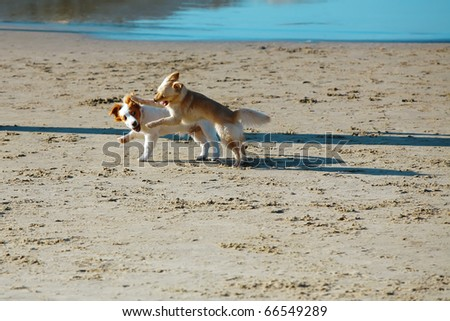 two small dog play in blue sea water