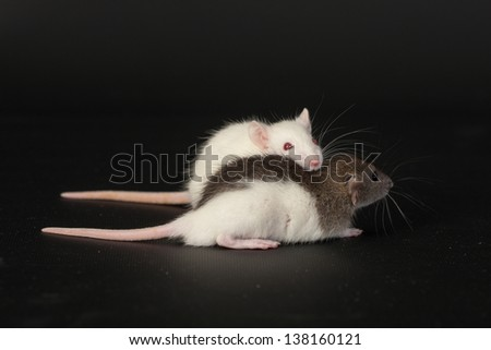 two small domestic rat on a black background