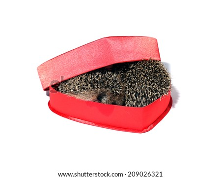 Two small forest hedgehogs in a red gift box in heart shape isolated - stock photo