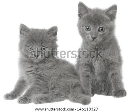 Two small gray kitten sitting isolated on white background.