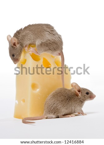 Two small gray mice and a big cheese - stock photo
