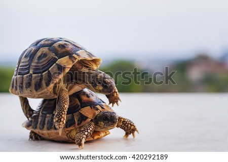 two small green turtles on the ground that mate - stock photo