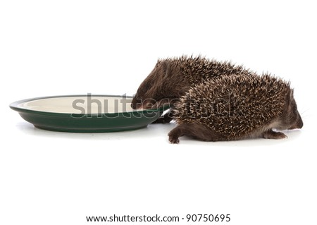 two small grey prickly hedgehogs gathering to drink milk from the plate - stock photo