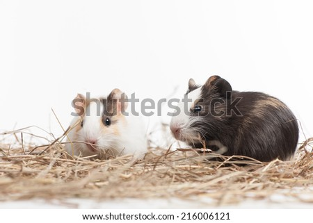 Two small hamsters on white isolated background. Two nice hamster sitting on hay - stock photo