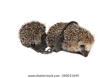 Two small hedgehogs, held together buttoned handcuffs isolated on white background