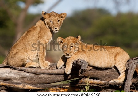 Two small lion cubs resting on a fallen tree stump - stock photo