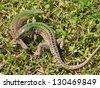 Two small lizards fighting. Biting one in focus. - stock photo
