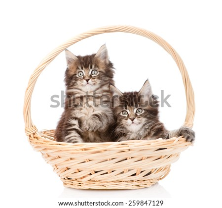 two small maine coon cats sitting in basket. isolated on white background